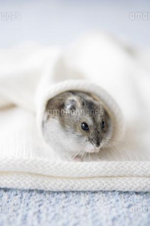 セーターの袖の中に入ったハムスターの写真素材 [FYI01870782]