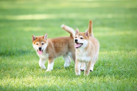 2匹の子犬の写真素材 [FYI01876117]