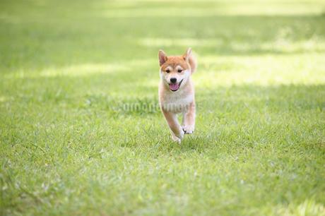 子犬の写真素材 [FYI01876425]