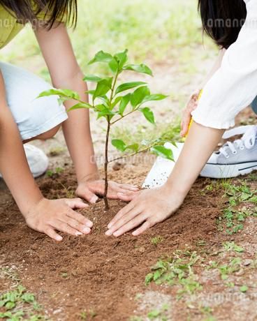 木の苗を植える2人の女の子の手元の写真素材 [FYI01899413]
