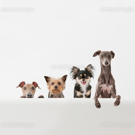 並んで見る4匹の犬の写真素材 [FYI01903239]