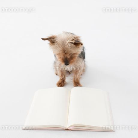 本を読むヨークシャテリアの写真素材 [FYI01903857]