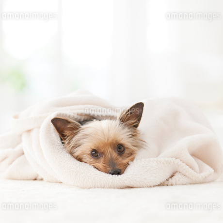 毛布に包まるヨークシャテリアの写真素材 [FYI01904414]