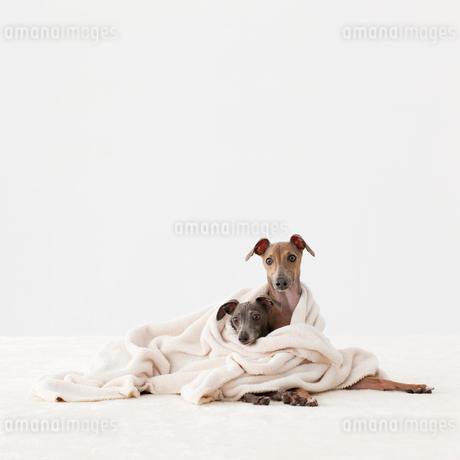 毛布に包まるイタリアングレイハウンドの写真素材 [FYI01904538]