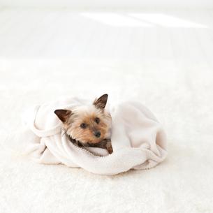 毛布に包まるヨークシャテリアの写真素材 [FYI01904628]