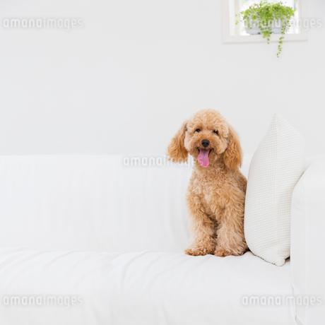 ソファに座るトイプードルの写真素材 [FYI01905314]