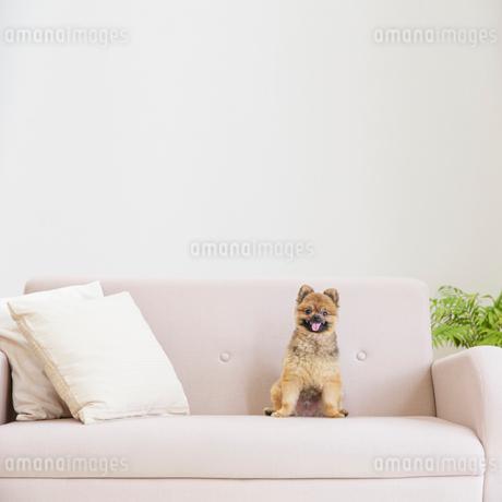 ソファに座るポメラニアンの写真素材 [FYI01905332]