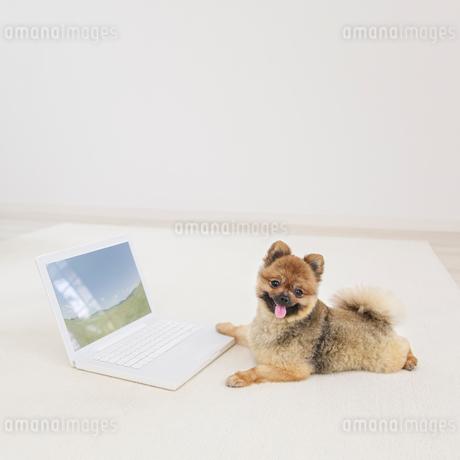 パソコンに向かうポメラニアンの写真素材 [FYI01906938]