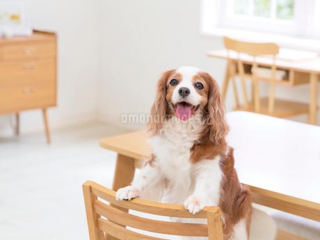 舌を出す犬の写真素材 [FYI01911675]