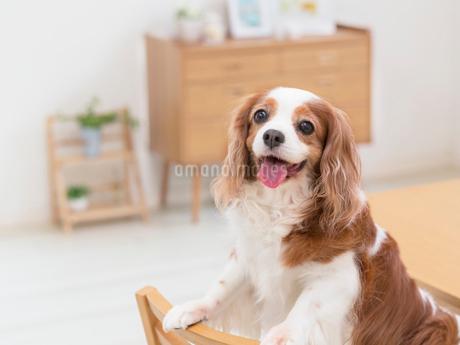 舌を出す犬の写真素材 [FYI01912160]