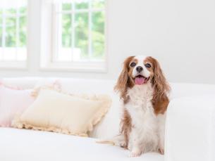 ソファに座る犬の写真素材 [FYI01912267]