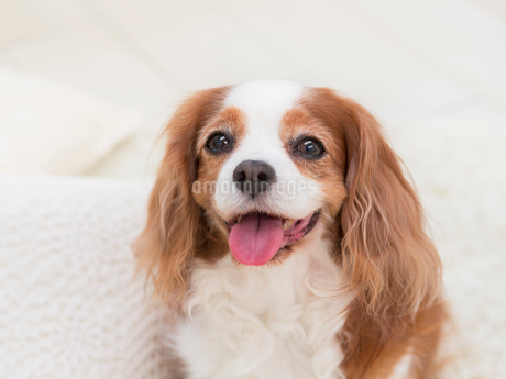 舌を出す犬の写真素材 [FYI01912775]