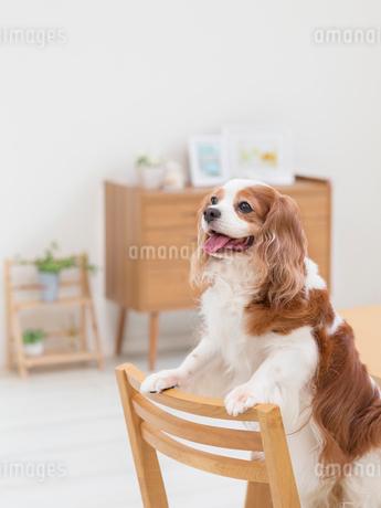 イスの上で立つ犬の写真素材 [FYI01912909]