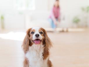 舌をだして見る犬の写真素材 [FYI01913041]