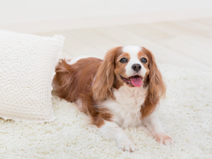 舌を出す犬の写真素材 [FYI01913370]