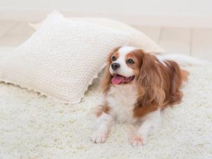 舌を出す犬の写真素材 [FYI01913512]