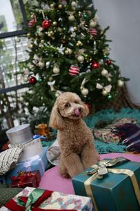 クリスマスツリーの前の犬の写真素材 [FYI01922069]