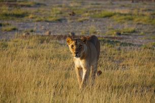 雌ライオンの写真素材 [FYI01923235]