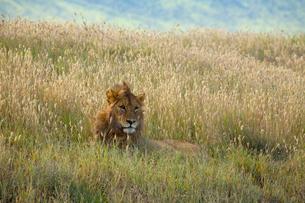 草原のライオンの写真素材 [FYI01923395]