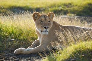 草に座る雌ライオンの写真素材 [FYI01923397]