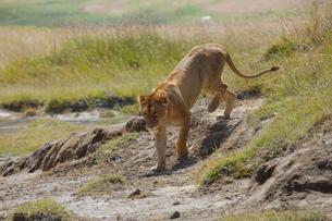 歩く雌ライオンの写真素材 [FYI01923432]