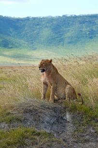 草原のライオンの写真素材 [FYI01923456]