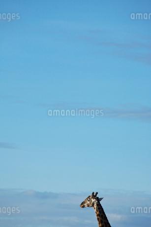 空とキリンの写真素材 [FYI01923496]