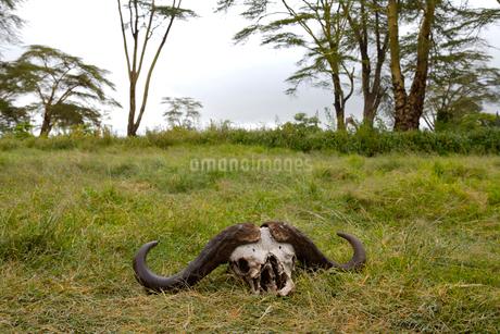 バッファローの頭骨の写真素材 [FYI01923598]
