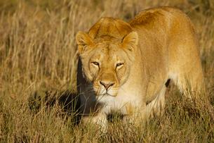 雌ライオンの写真素材 [FYI01923655]