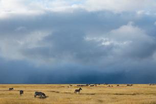 草原の中のシマウマの写真素材 [FYI01923860]