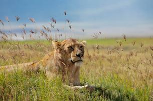 草に座る雌ライオンの写真素材 [FYI01924038]