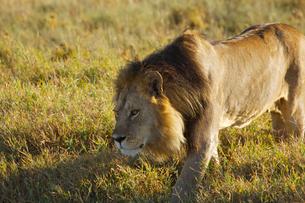 雄ライオンの写真素材 [FYI01924832]