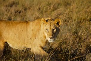 雌ライオンの写真素材 [FYI01924849]