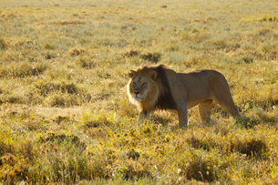 雄ライオンの写真素材 [FYI01924894]