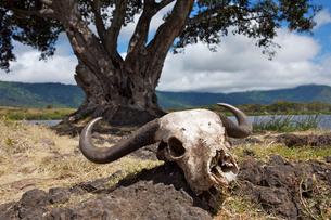 バッファローの頭骨の写真素材 [FYI01924980]