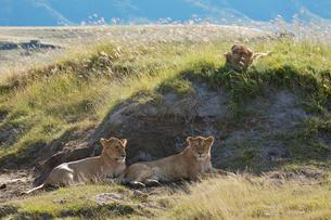 3匹の雌ライオンの写真素材 [FYI01925020]