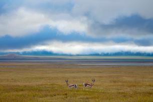 草原の中のトムソンガゼルの写真素材 [FYI01925029]