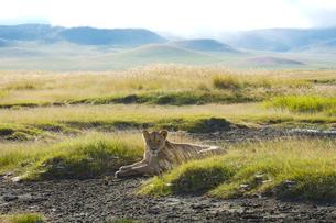 草に座る雌ライオンの写真素材 [FYI01925074]