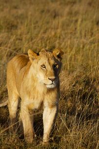 雌ライオンの写真素材 [FYI01925119]
