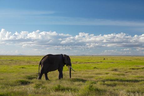 1匹の象の写真素材 [FYI01925137]