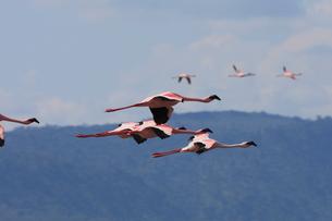 飛び立つフラミンゴの群れの写真素材 [FYI01925217]