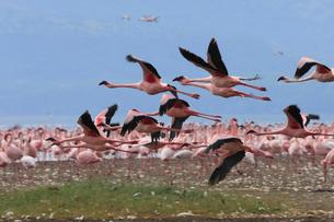 飛び立つフラミンゴの群れの写真素材 [FYI01925413]