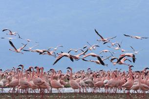 飛び立つフラミンゴの群れの写真素材 [FYI01925951]