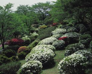 八幡山公園のツツジ 宇都宮市 栃木県の写真素材 [FYI01925959]