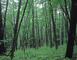 新緑のミズナラ林の写真素材 [FYI01926370]