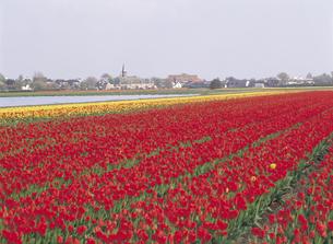 赤いチューリップ畑 オランダの写真素材 [FYI01926386]