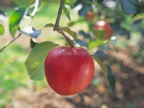 りんごの写真素材 [FYI01926464]