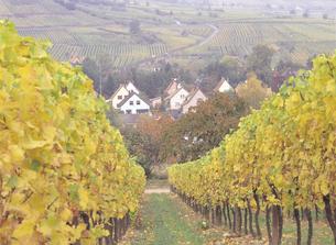 ブドウ畑とワイン街道 フランスの写真素材 [FYI01926529]