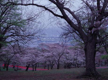 天狗山の桜の写真素材 [FYI01927078]