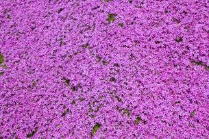 滝上公園の芝桜の写真素材 [FYI01928330]